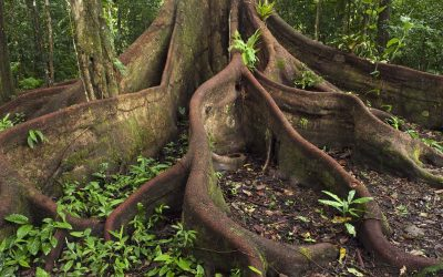 Buttress roots in rainforest, Cocaya River, eastern Amazon, Ecuador